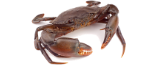 Dungeress Crab Icon