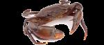 Dungeress Crab Icon