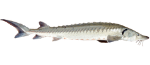 Sturgeon Fish Icon